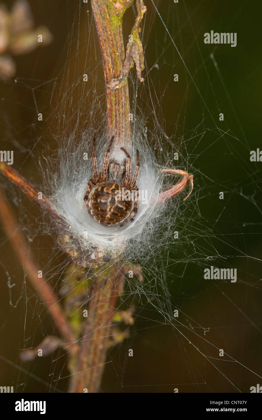bush orbweaver, basketweaver (Araneus redii, Agalenatea redii), sits in its' web, Germany - Stock Image