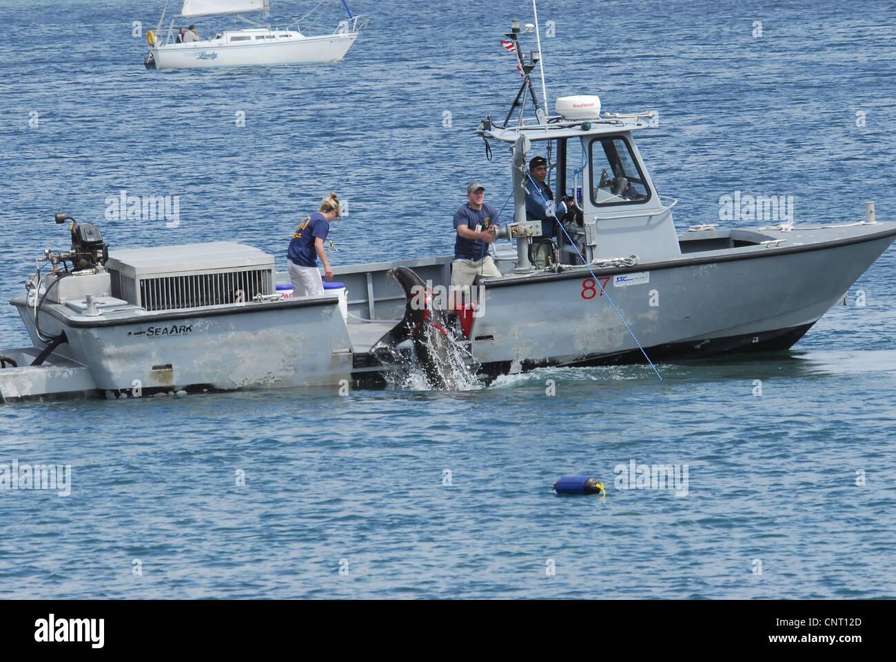 US Navy Sailors work with a sea lion specially trained to locate sea mines and perform military tasks April 12, - Stock Image