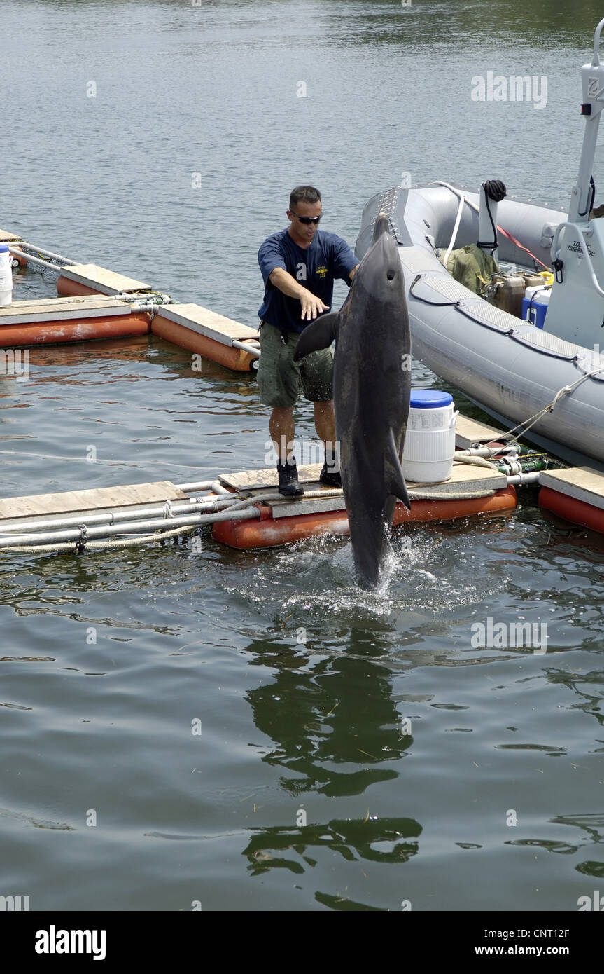 A member of the Naval Special Clearance Team One works with a Navy dolphin trained to detect sea mines June 13, - Stock Image