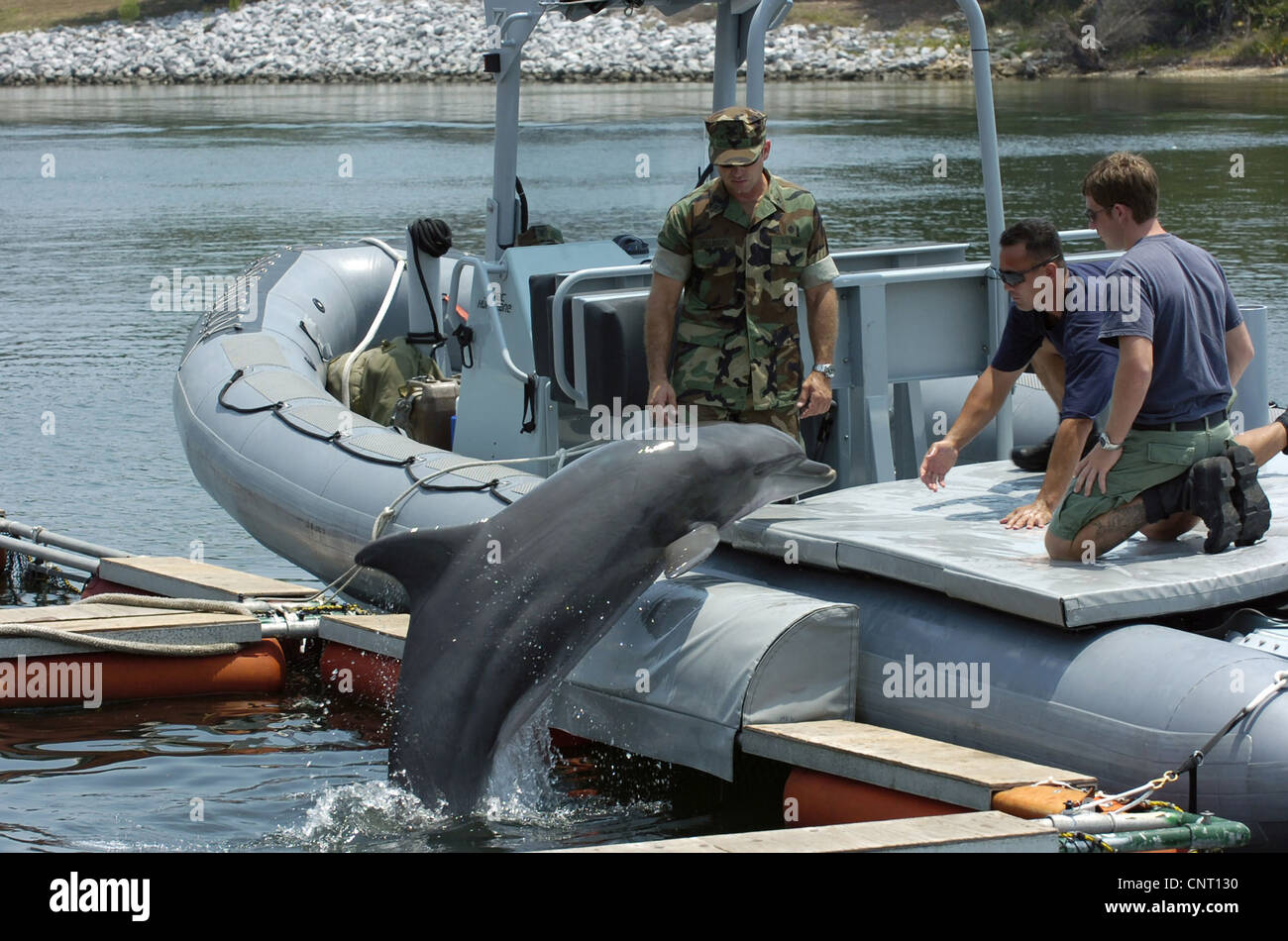 Members of the Naval Special Clearance Team One works with a Navy dolphin trained to detect sea mines June 13, 2007 - Stock Image