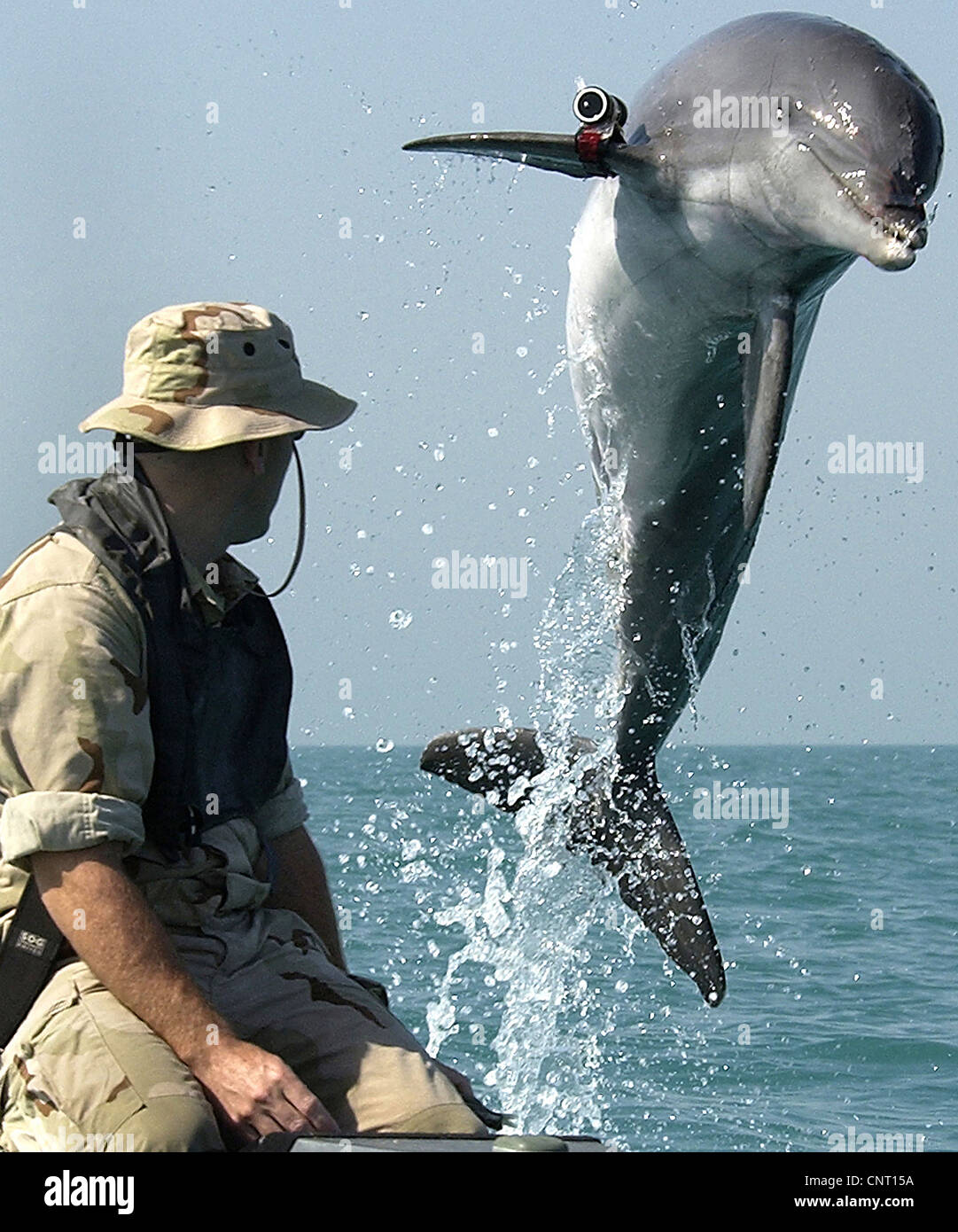 A specially trained US Navy Bottle Nose Dolphin wearing a pinger device on his fin leaps out of the water while - Stock Image