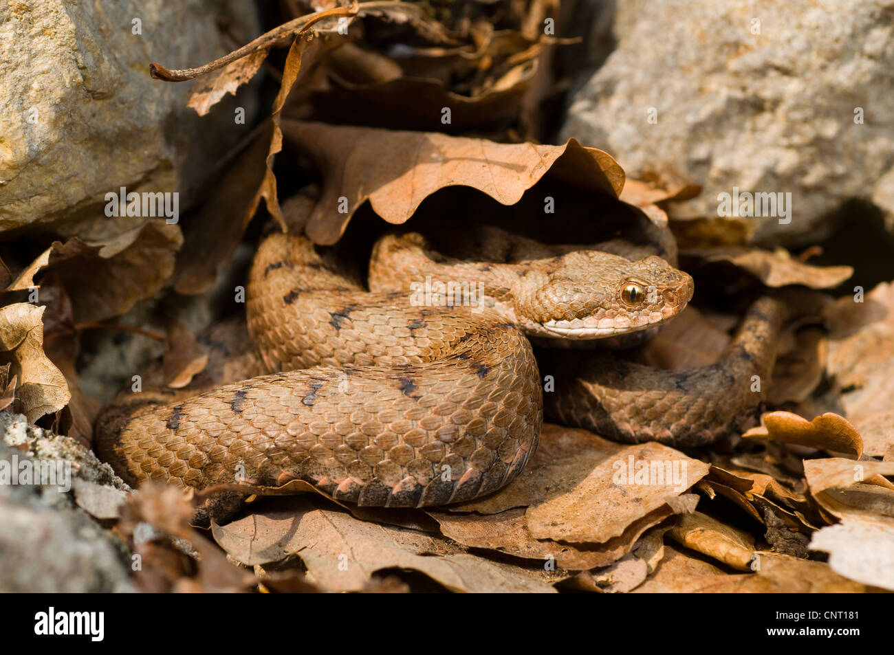asp viper, aspic viper (Vipera aspis), juvenile in autumn leaves, Switzerland, Jura, Bielersee - Stock Image
