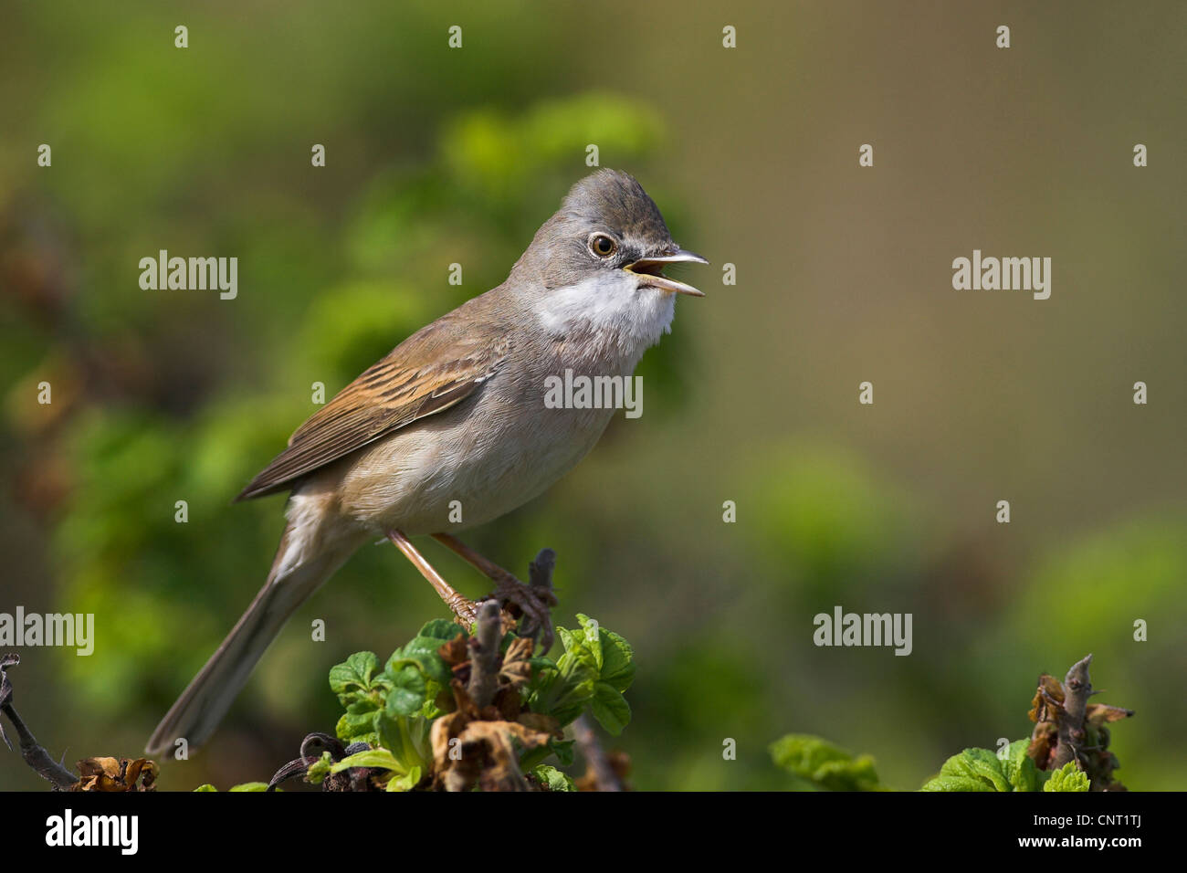 whitethroat (Sylvia communis), sings, Netherlands, Texel - Stock Image