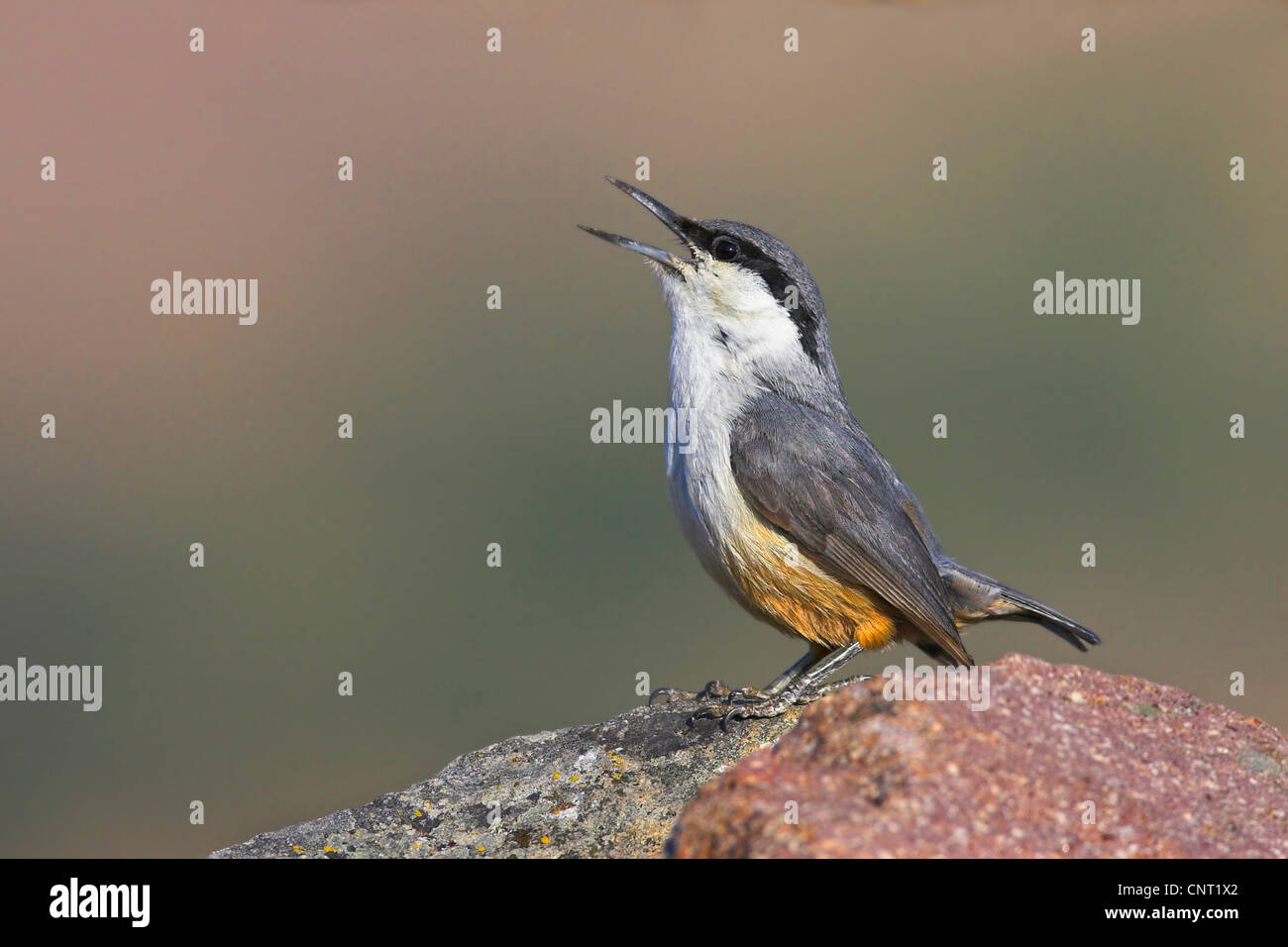 rock nuthatch (Sitta neumayer), sings, Greece, Lesbos - Stock Image