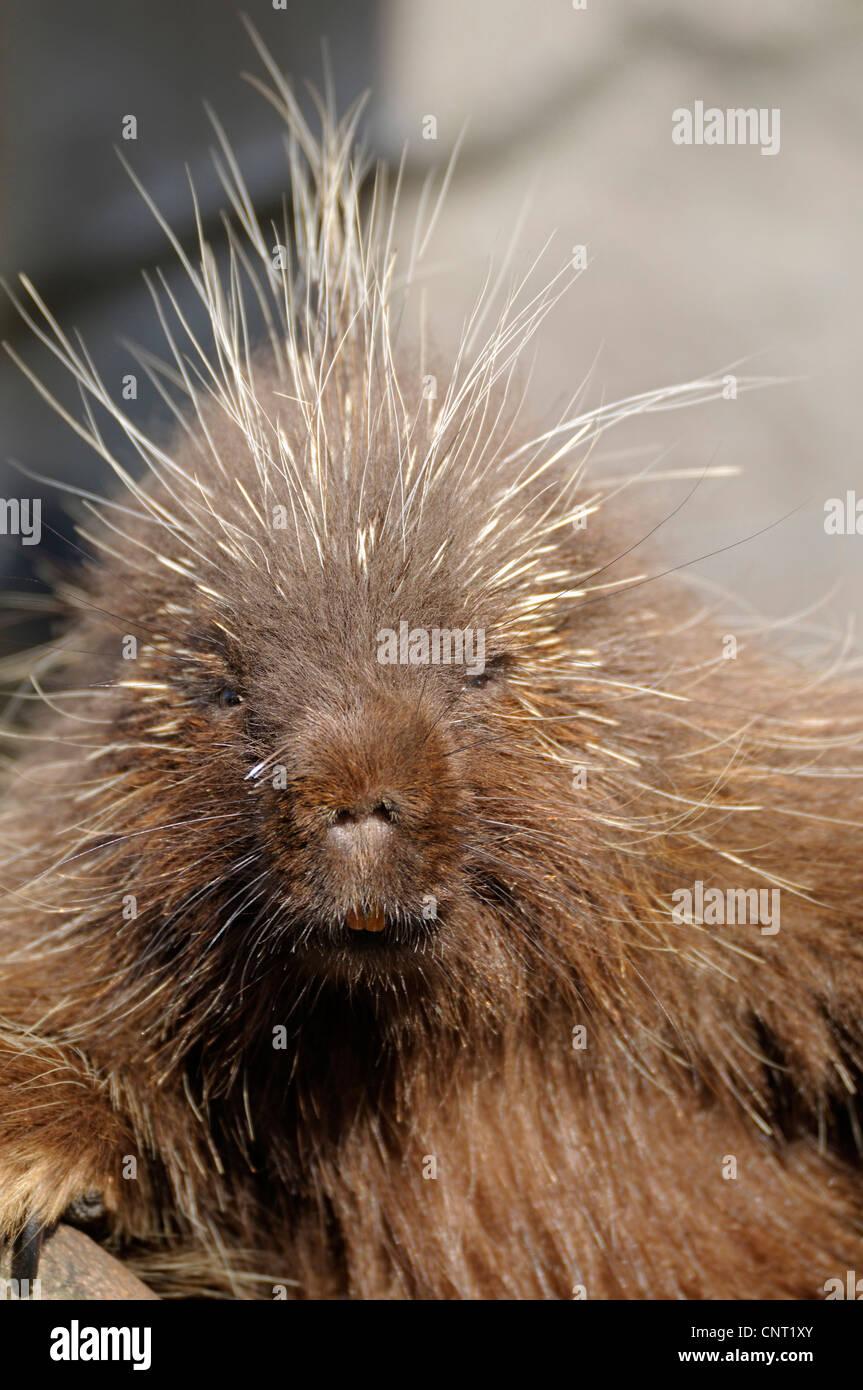 North American porcupine (Erethizon dorsatum), portrait Stock Photo