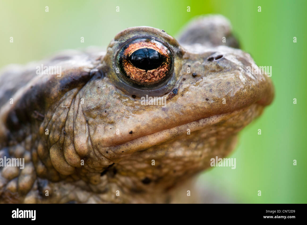 Aclose up of th ehead of an adult common toad (Bufo bufo) in Lesnes Abbey Woods, Bexley, Kent. March. Stock Photo