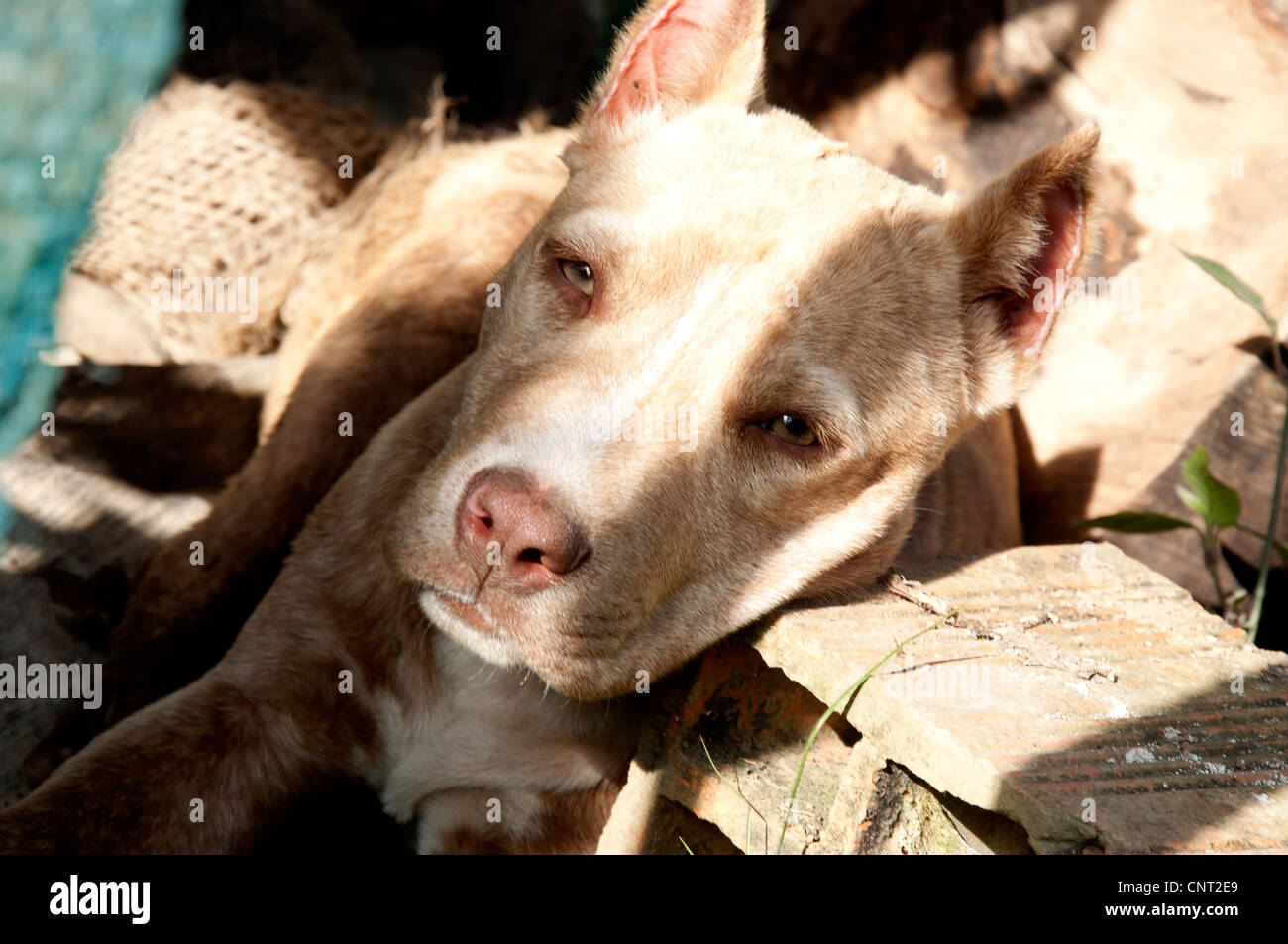 dog, pitbull, friend of man, harmless, brown, animal, nature, domestic, - Stock Image