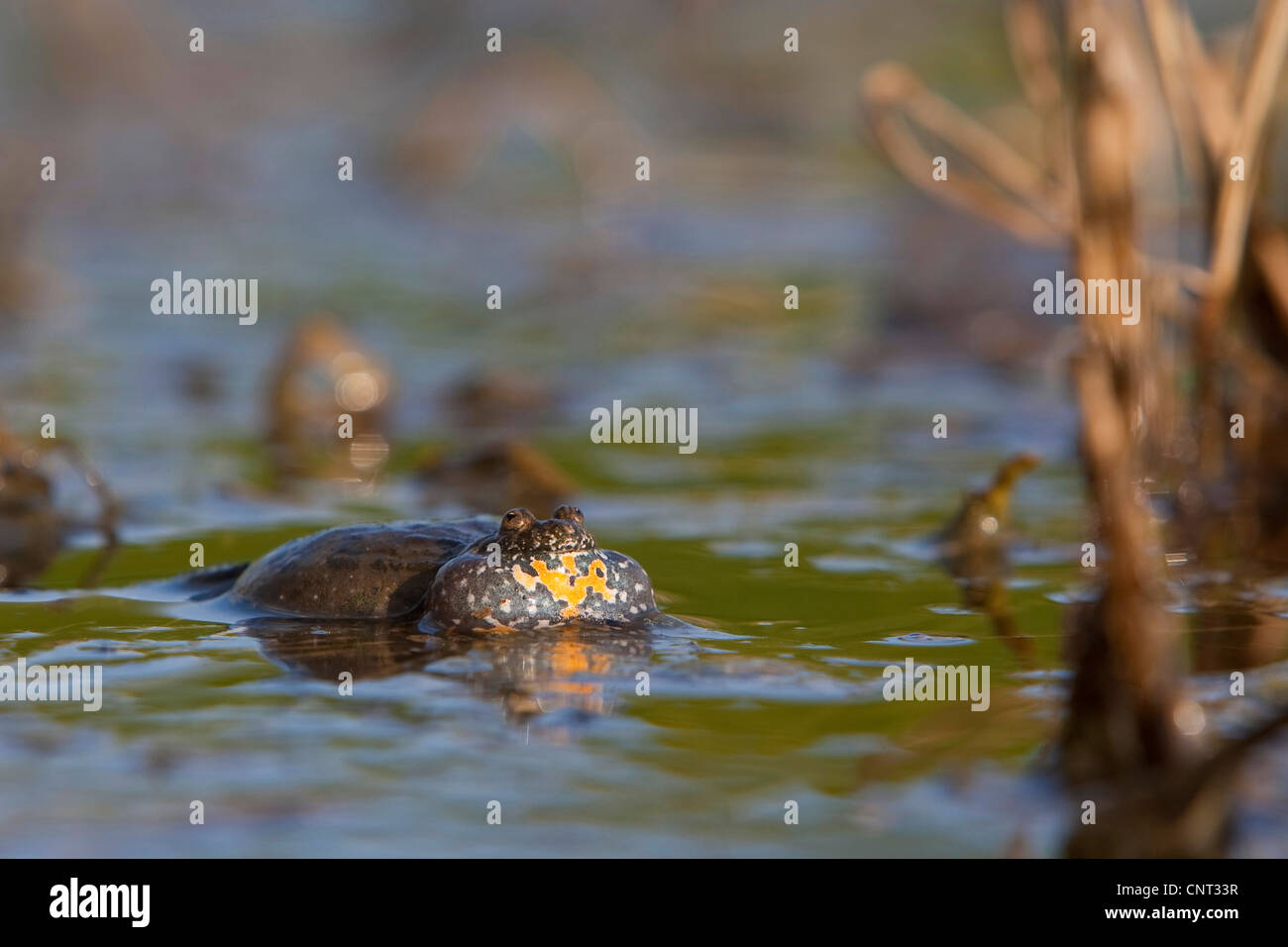 fire-bellied toad (Bombina bombina), croaking in a pond in spring, Germany - Stock Image