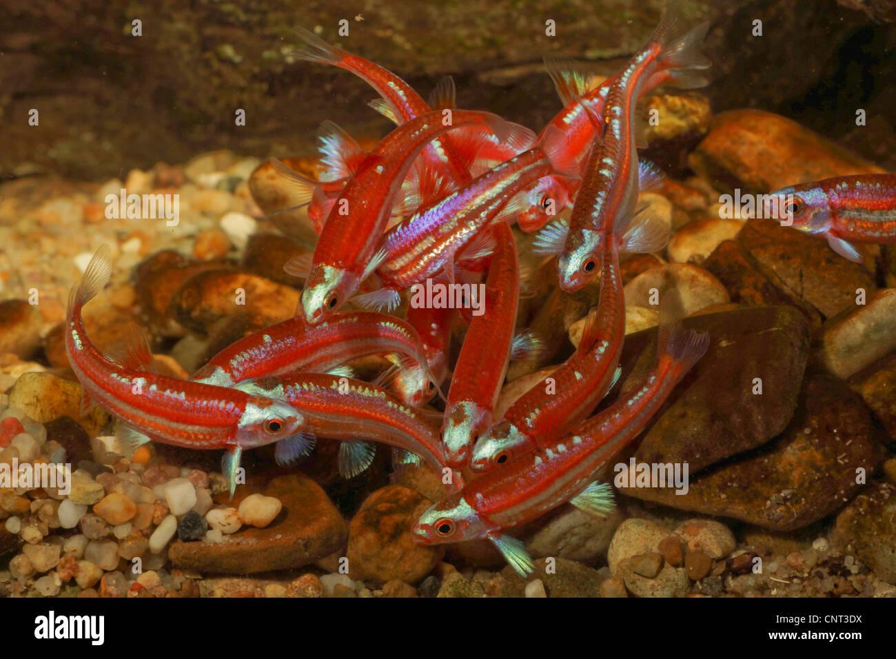 Rainbow shiner (Notropis chrosomus), school of fish spawning - Stock Image