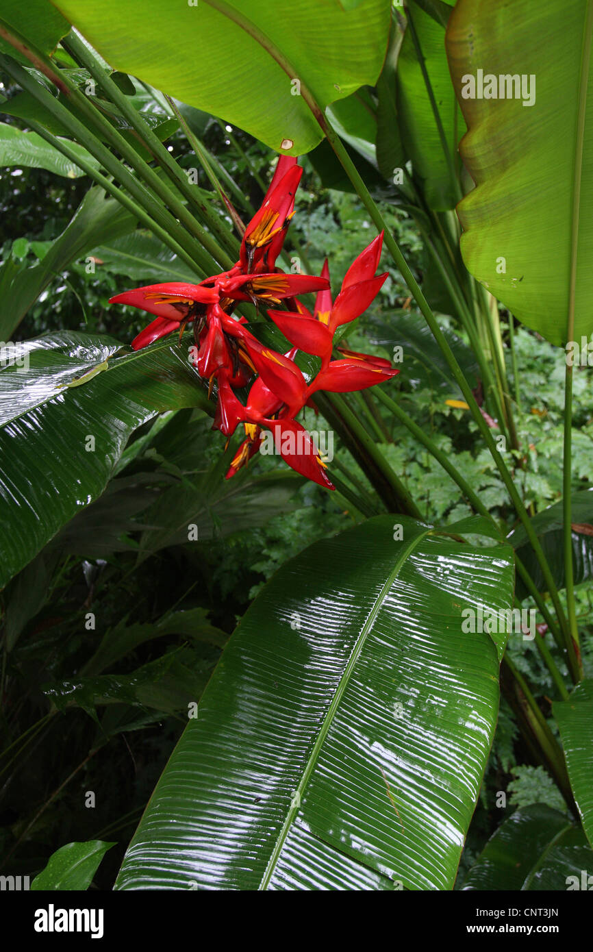 heliconia (Heliconia spec.), bloomming - Stock Image