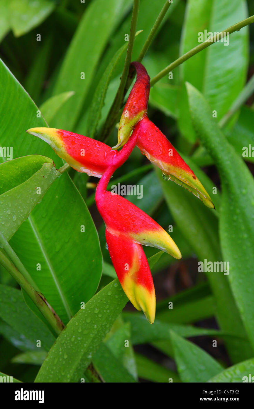 lobster claw heliconia (Heliconia rostrata), inflorescence - Stock Image
