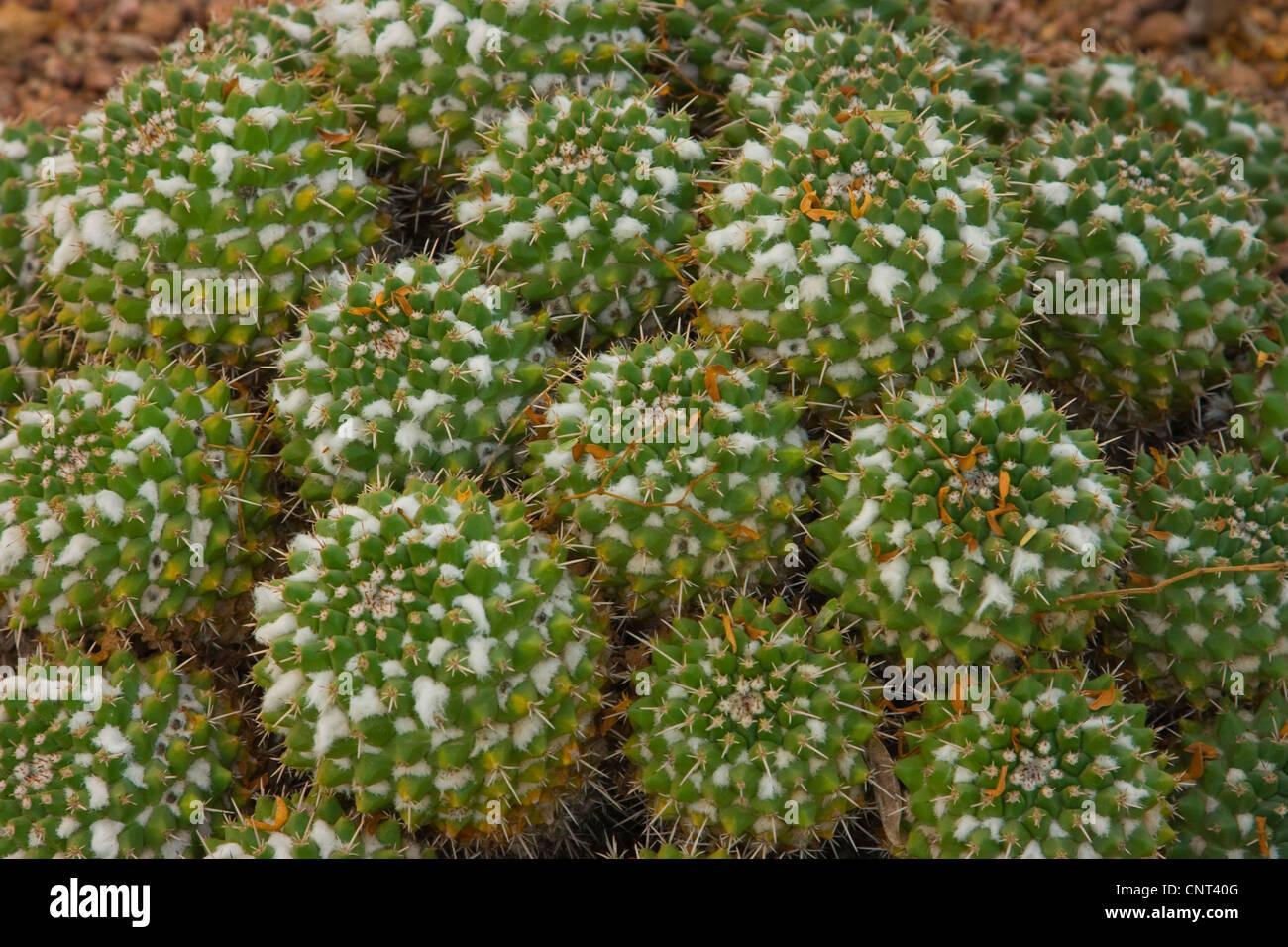 Compressed Cactus (Mammillaria compressa), habit, USA, Arizona - Stock Image
