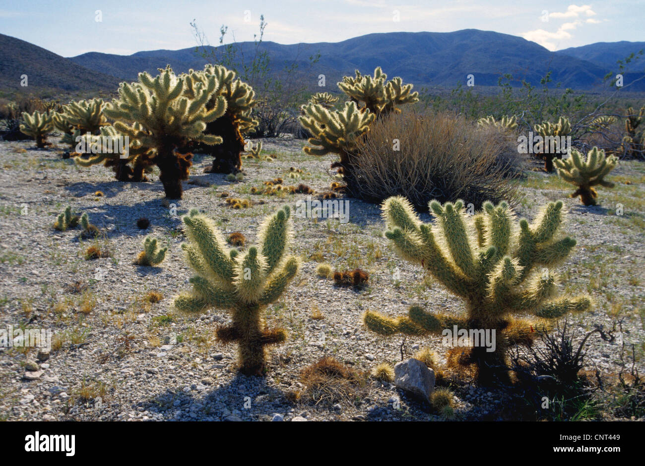 Chain Fruit Cholla, Jumping Cholla, Hanging Chain Cholla, Sonora Jumping Cholla  (Opuntia fulgida, Cylindropuntia - Stock Image