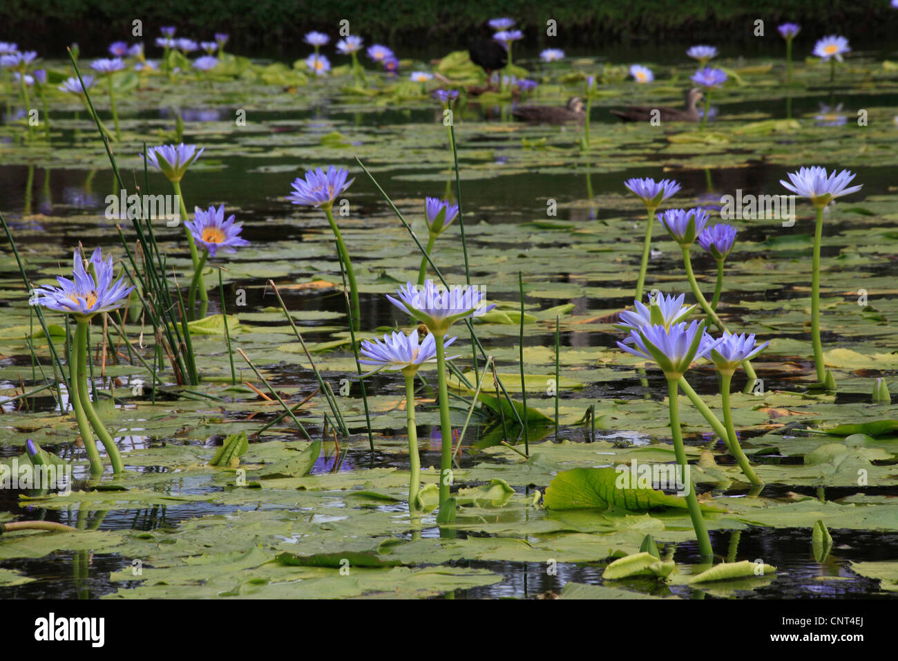 Lotus flower side view stock photos lotus flower side view stock egyptian lotus blue lotus of the nile blue water lily nymphaea caerulea izmirmasajfo