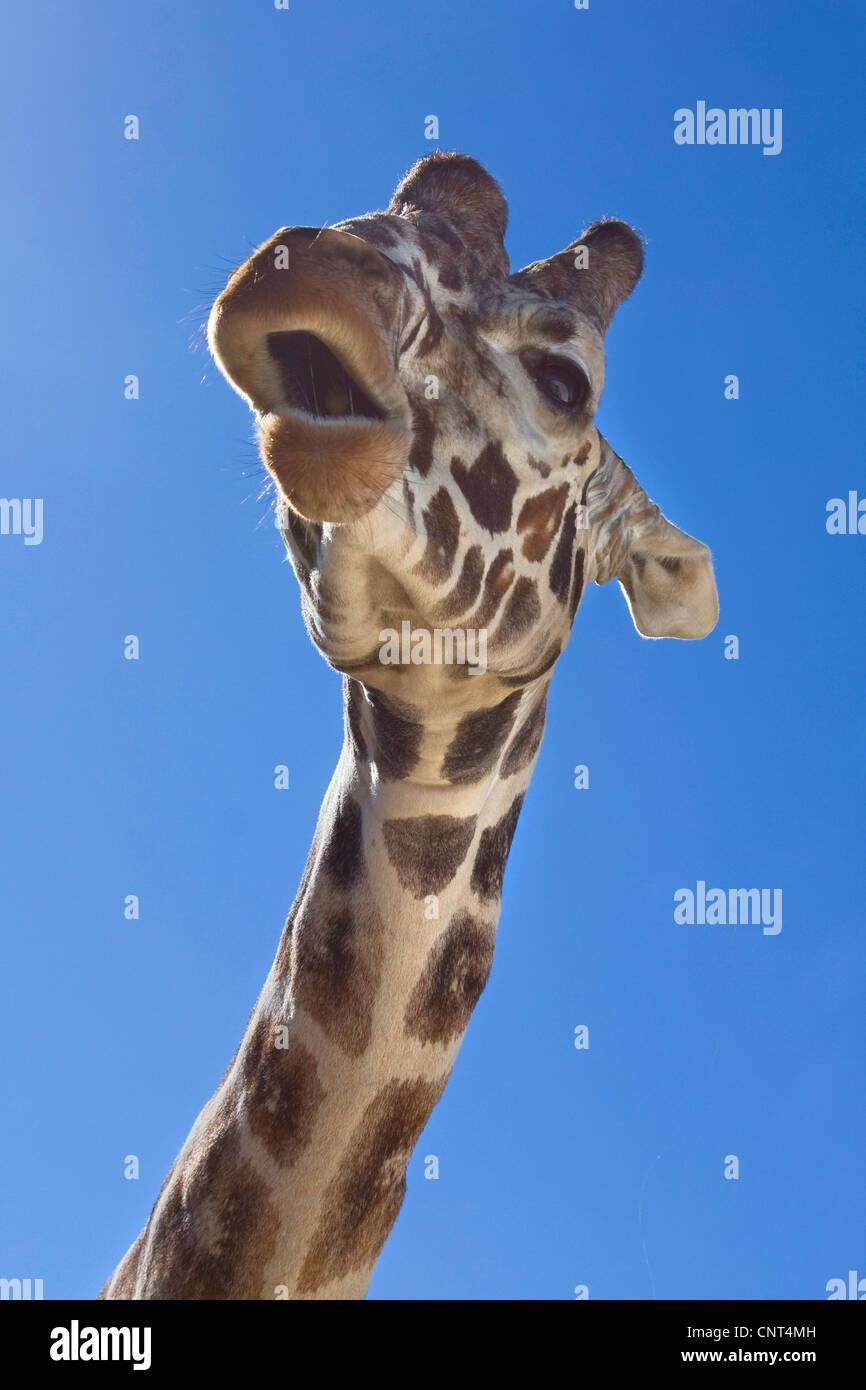 giraffe (Giraffa camelopardalis), portrait, from below - Stock Image