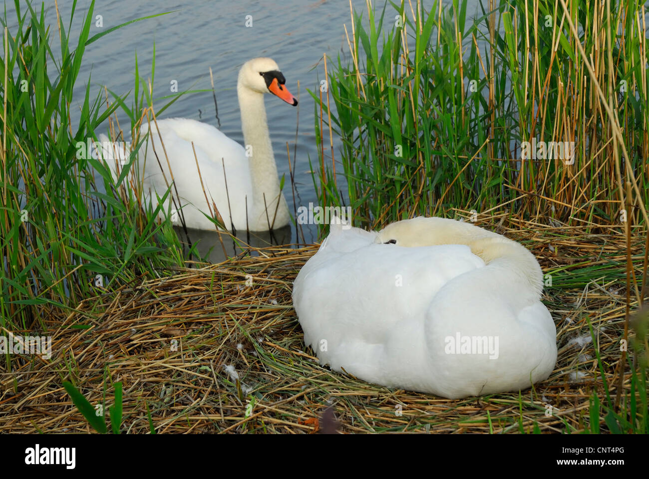mute swan (Cygnus olor), couple, one individual sitting on the nest,  breeding whle the other is swimming in front - Stock Image
