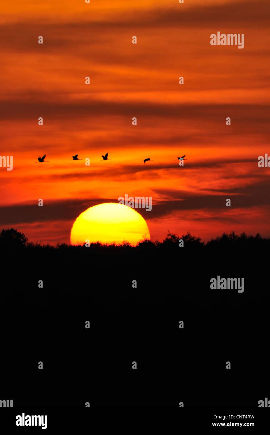 common crane (Grus grus), flying group over the rising sun, Germany, Mecklenburg-Western Pomerania Stock Photo