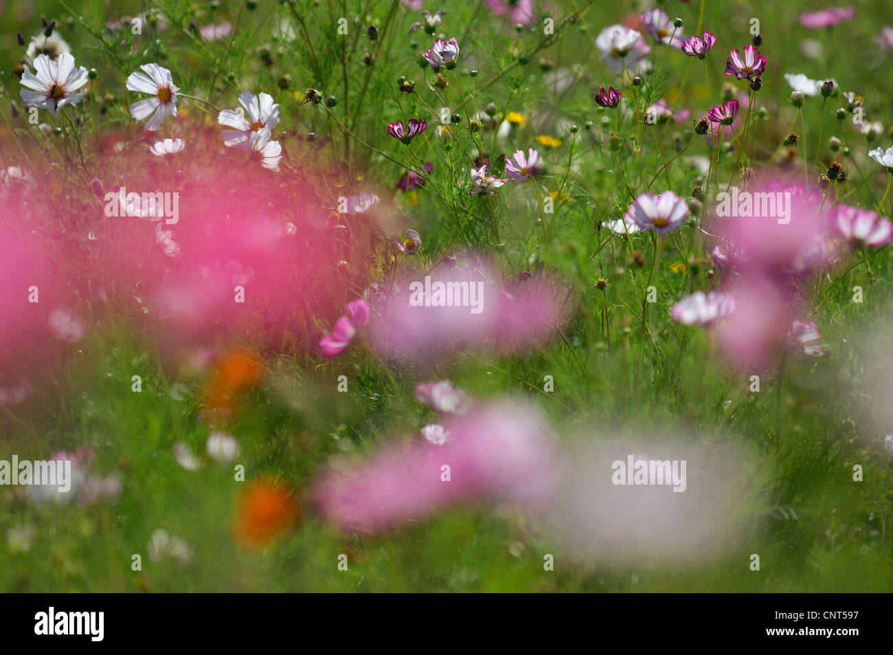garden cosmos, Mexican aster (Cosmos bipinnatus), flower meadow with cosmos - Stock Image