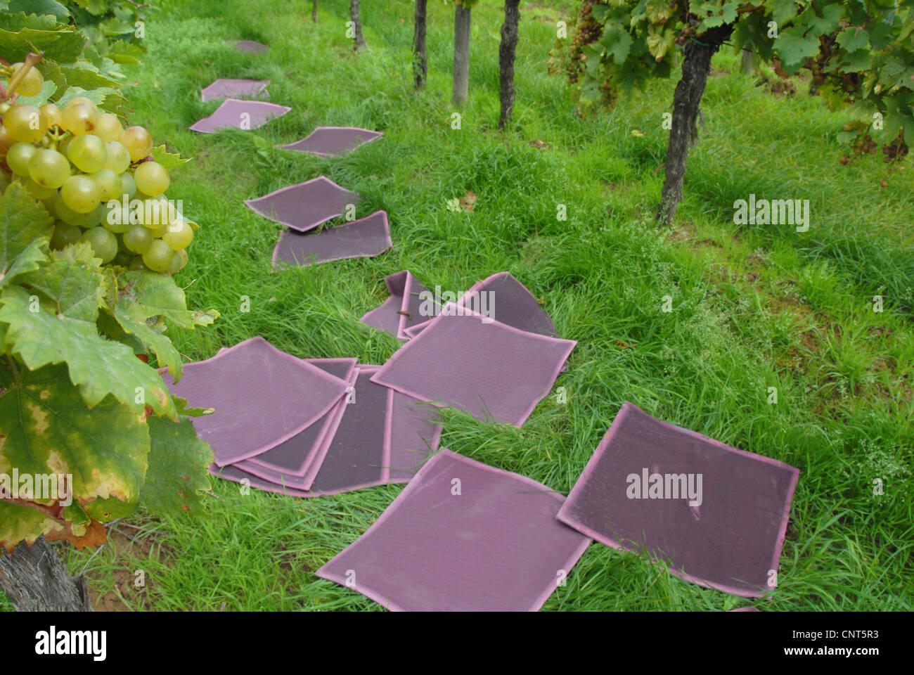 vineyard with wine filters, Germany, Rhineland-Palatinate - Stock Image