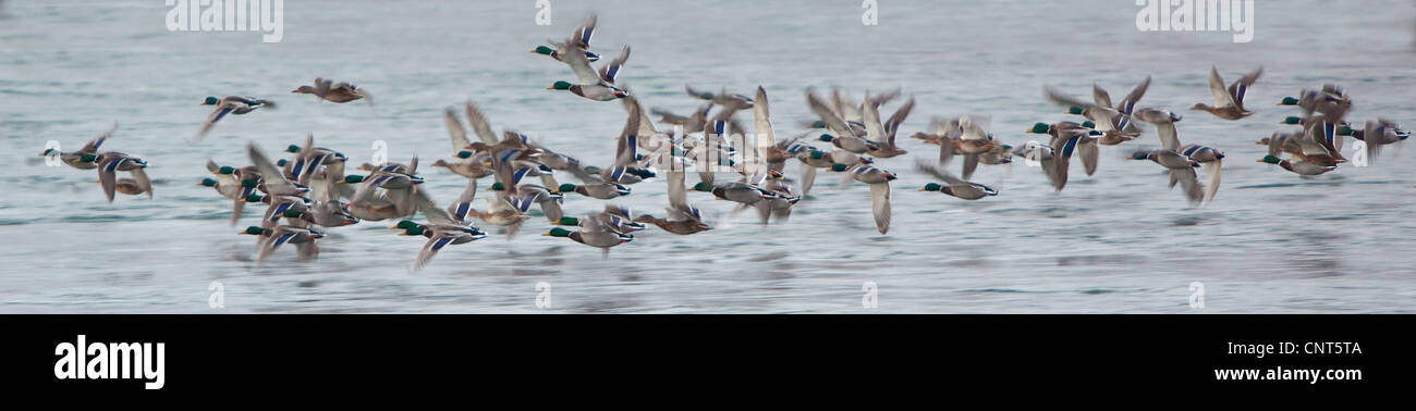 mallard (Anas platyrhynchos), about 60 individuals flying over flock of water, Norway - Stock Image