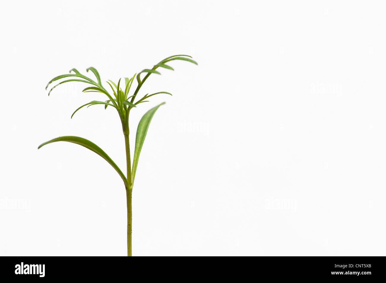 Cosmos flower seedling against a white background - Stock Image