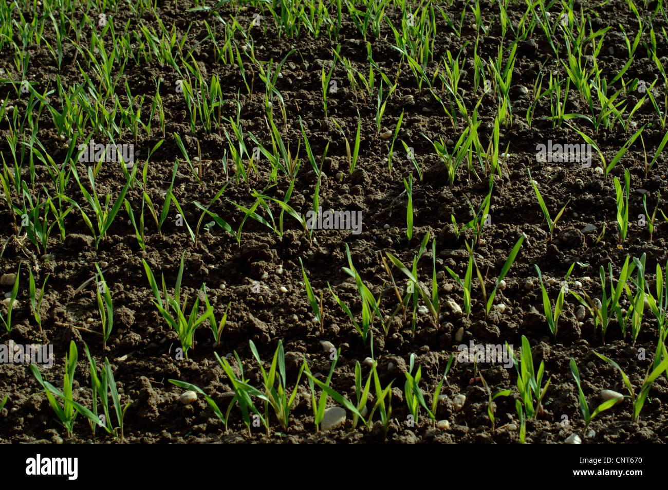cultivated rye (Secale cereale), seedling on an acre, Germany - Stock Image