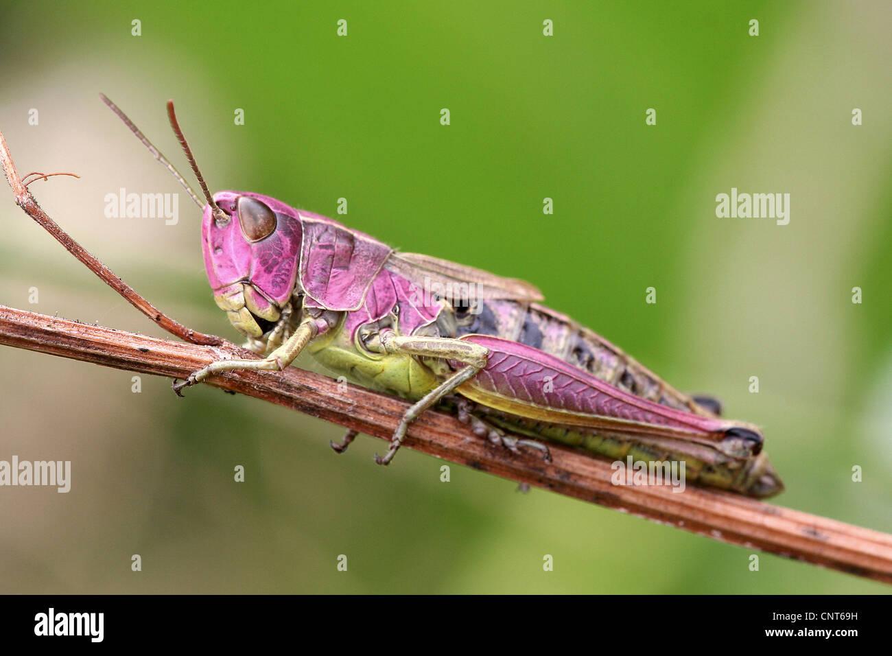 grasshoppers or short-horned g...