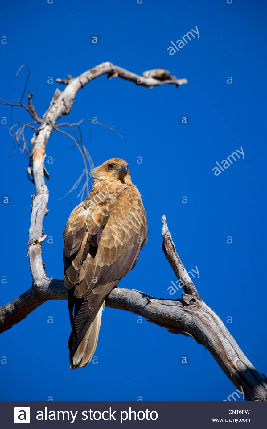 wedge-tailed eagle (Aquila audax), sitting on a dead tree, Australia, Northern Territory, West MacDonnell National - Stock Image