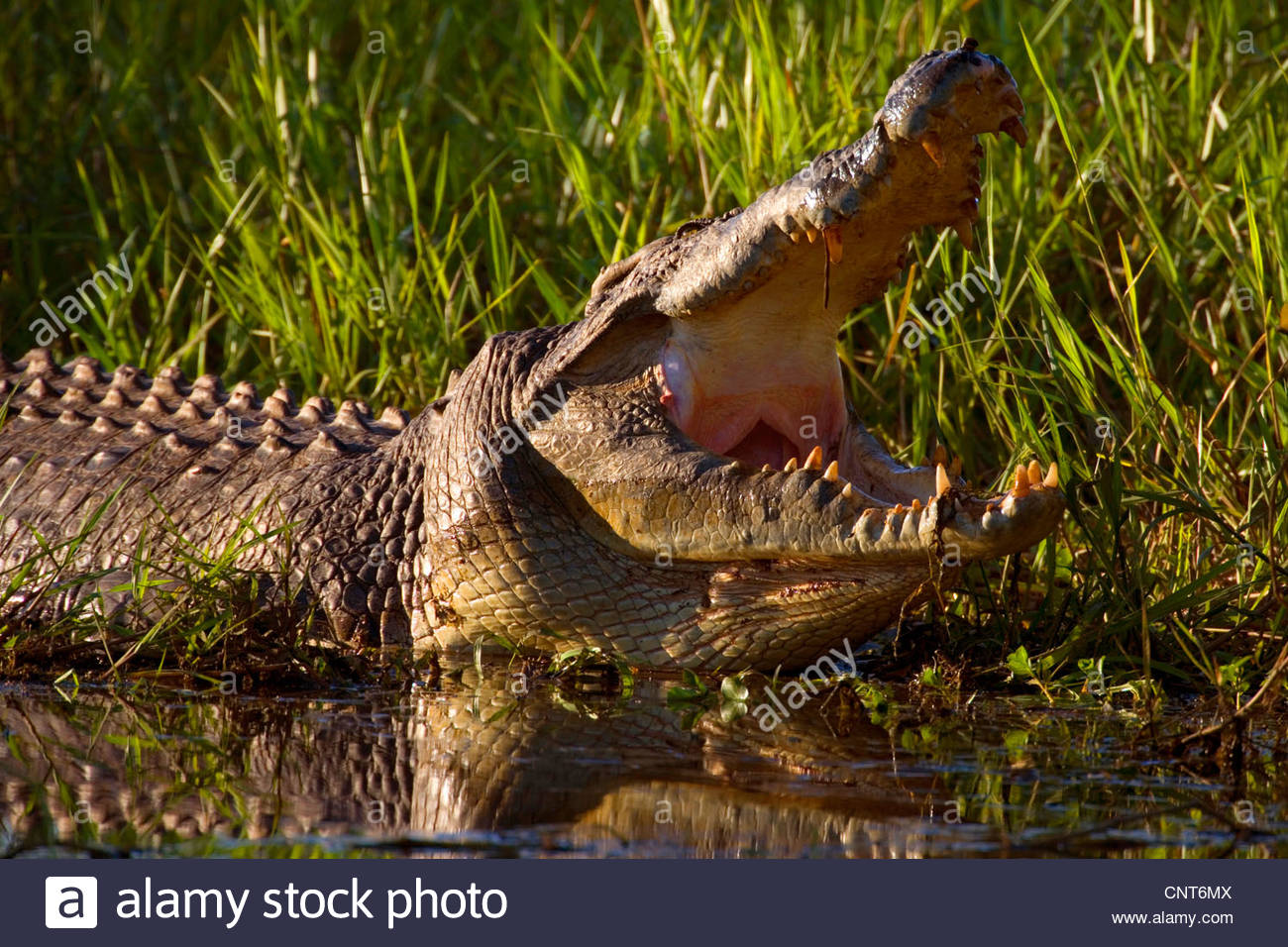 saltwater crocodile, estuarine crocodile (Crocodylus porosus), big Saltwater Crocodile lying at shore of a swamp - Stock Image