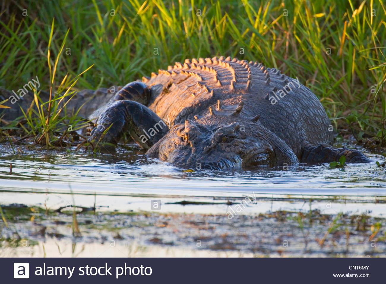 saltwater crocodile, estuarine crocodile (Crocodylus porosus), big Saltwater Crocodile lying in wait for prey in - Stock Image