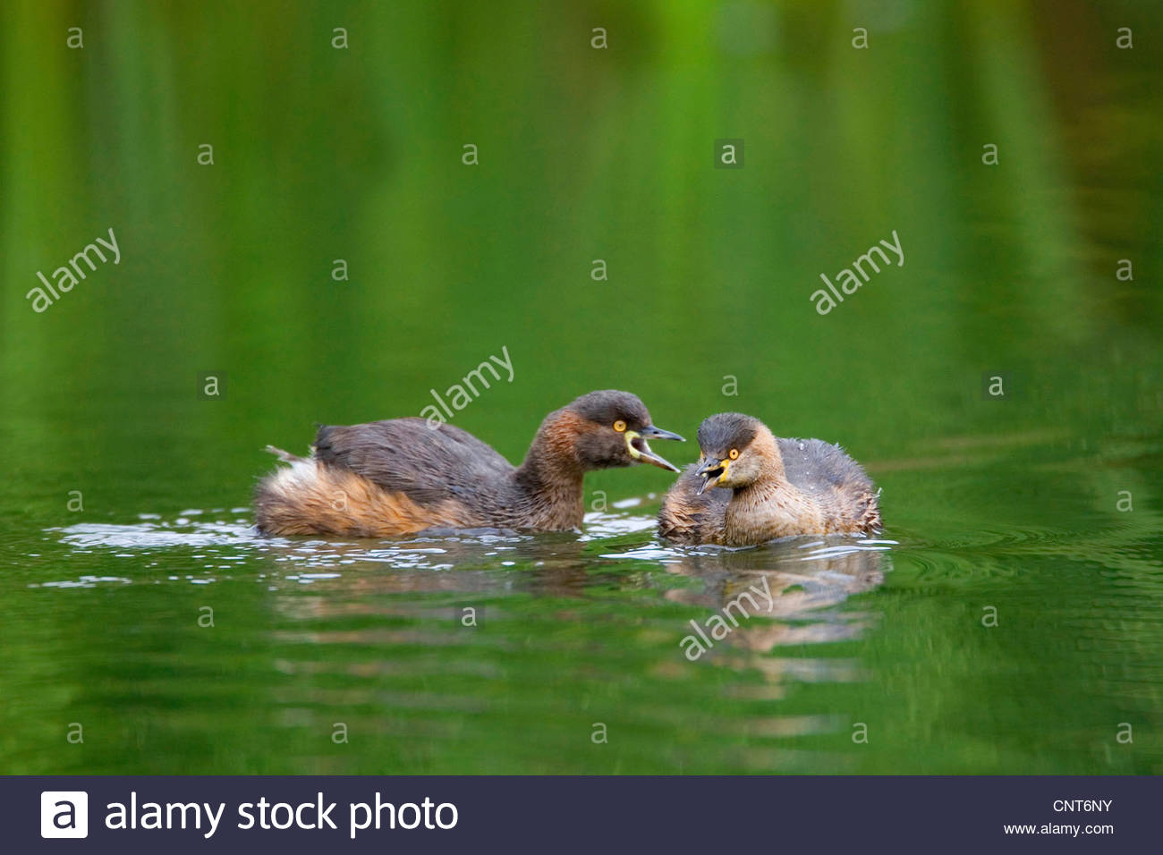 Australian dabchick (Tachybaptus novaehollandiae), two adult Australasian Grebe in breeding plumage communicating, - Stock Image