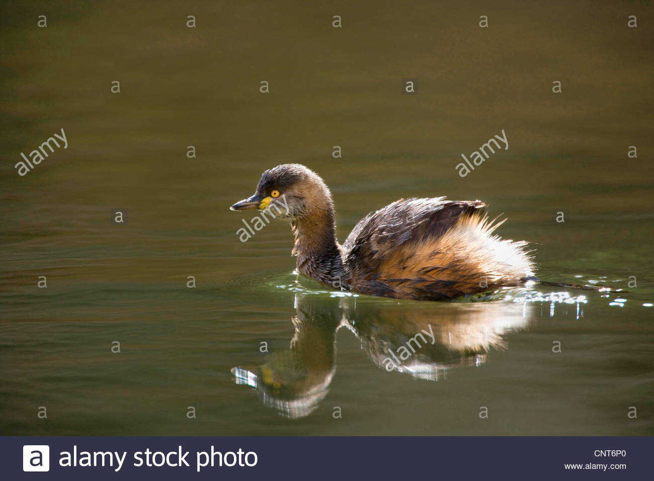 Australian dabchick (Tachybaptus novaehollandiae), adult Australasian Grebe in breeding plumage swims in a permanent - Stock Image