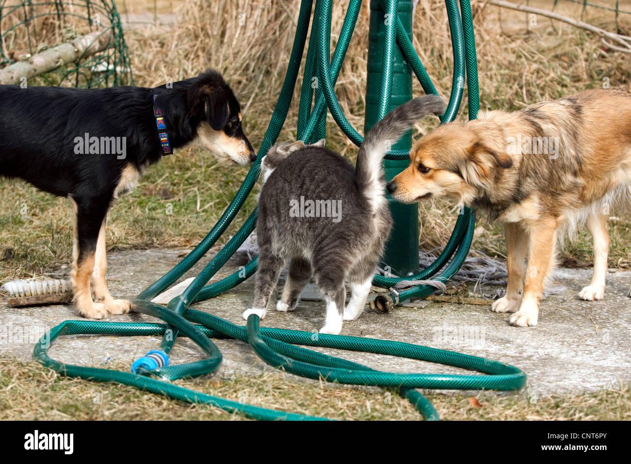 domestic cat, house cat (Felis silvestris f. catus), two dogs surrounding a cat Stock Photo