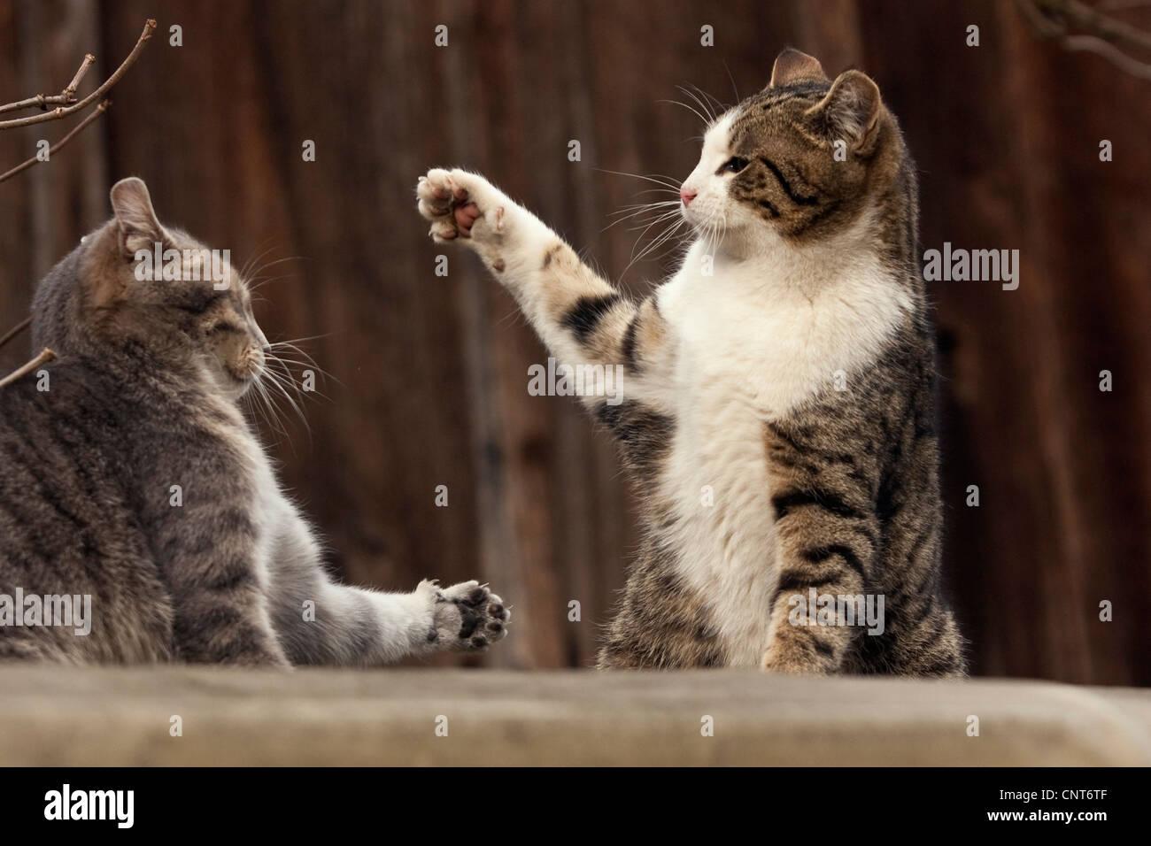 domestic cat, house cat (Felis silvestris f. catus), 2 animals fighting - Stock Image