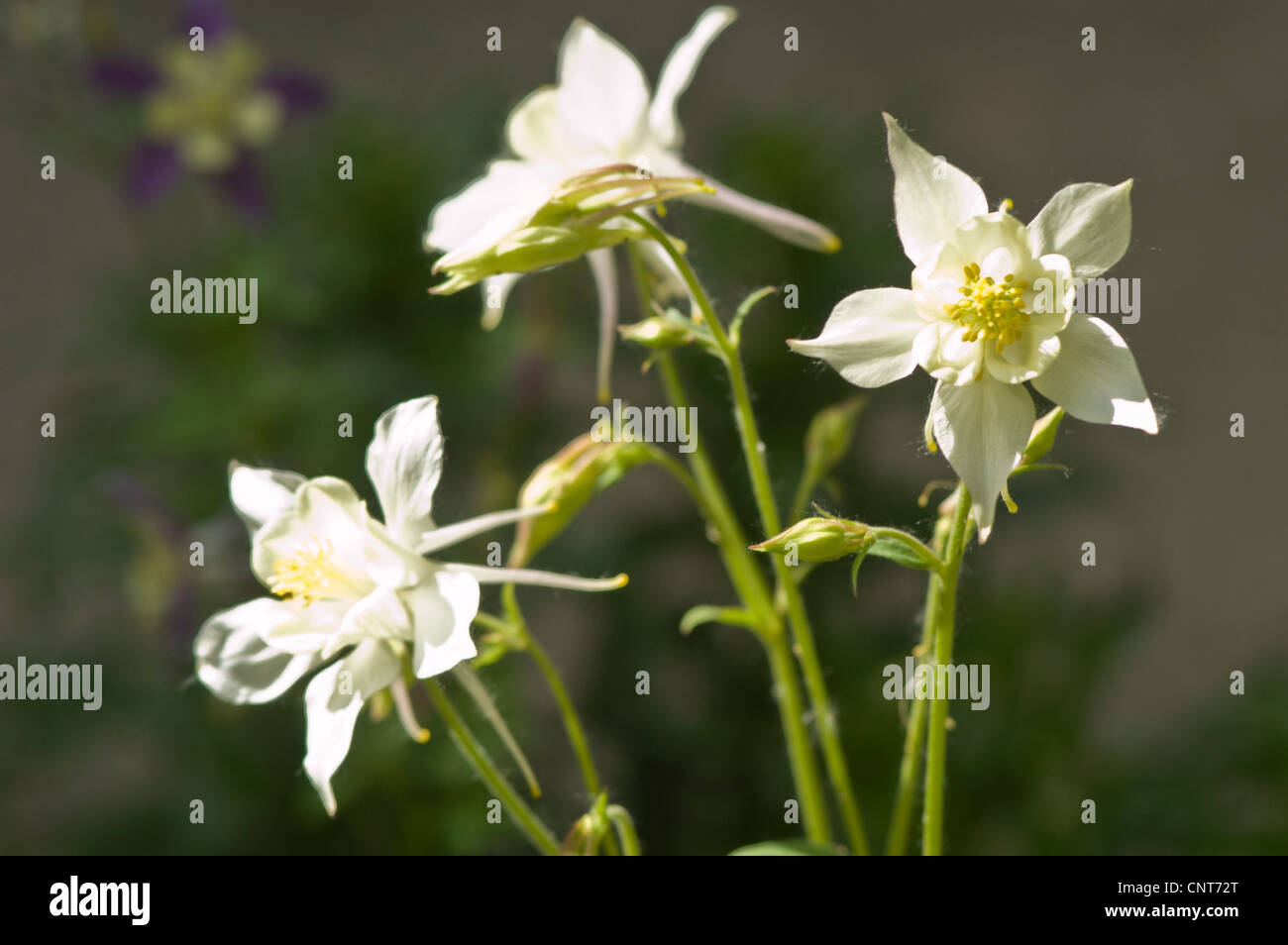 White Yellow Flowers Columbine Aquilegia Ranunculaceae Stock Photo
