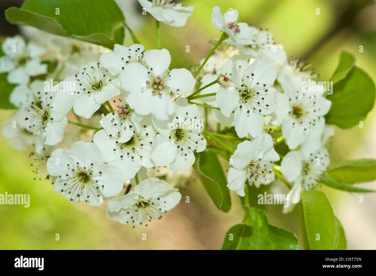 Many White Flowers Of Crabapple Tree Stock Photos Many White
