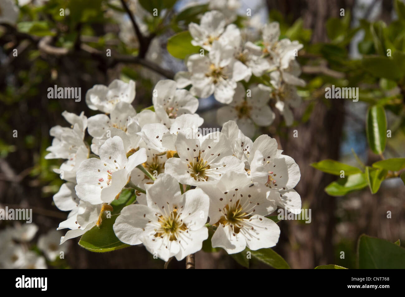 Many White Flowers Of Crabapple Tree Malus Stock Photo 47861024