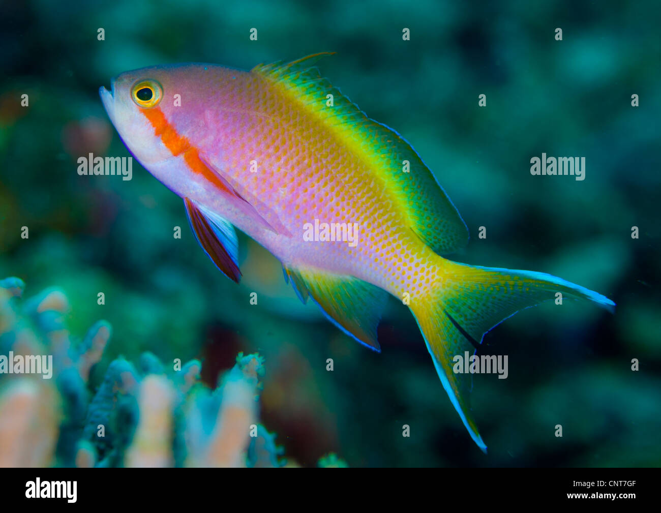 Threadfin anthias (Pseudanthias huchtii) swimming near reef, Solomon Islands. - Stock Image