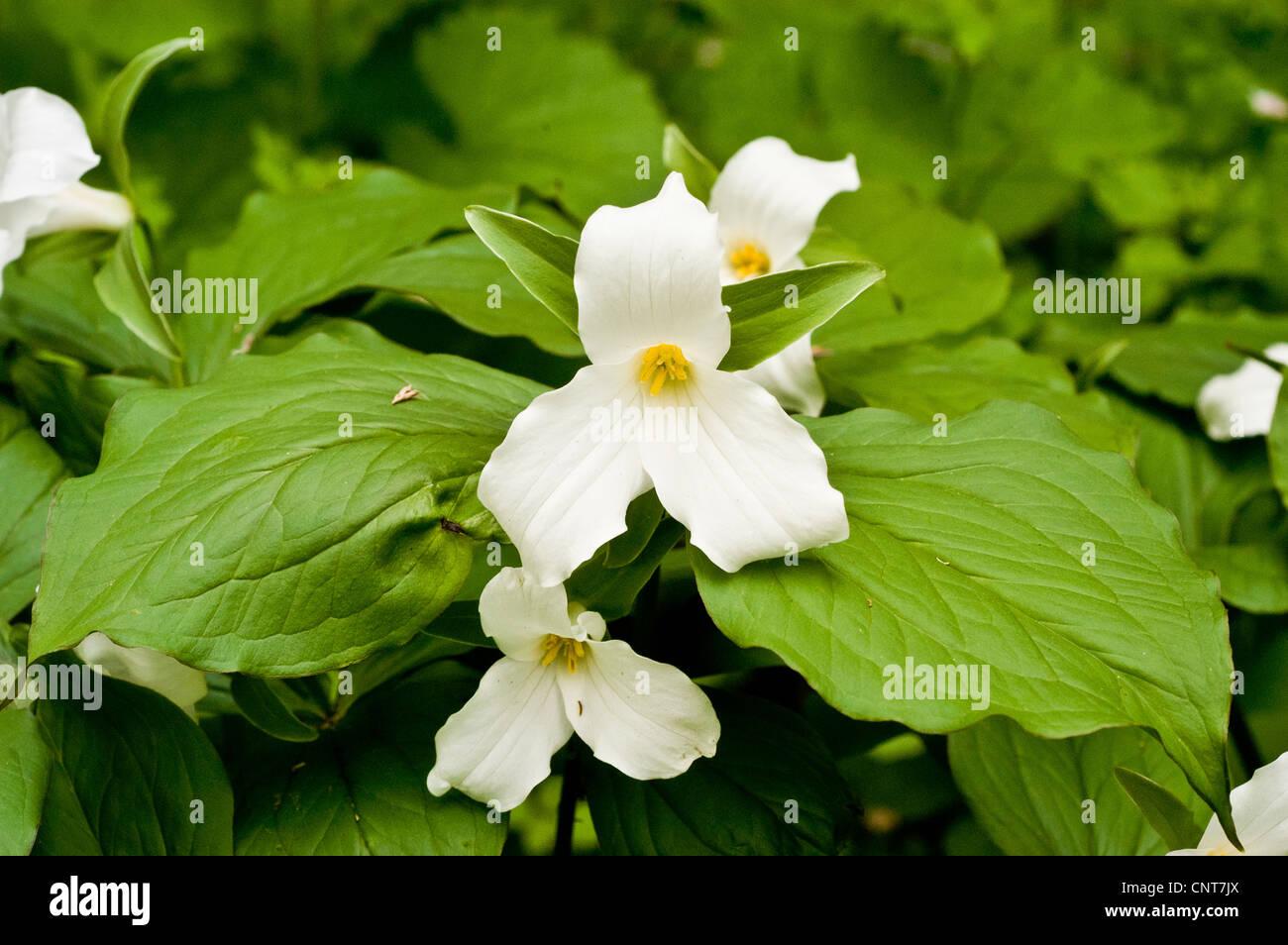 White Flower Of White Trillium Great White Trillium White Stock