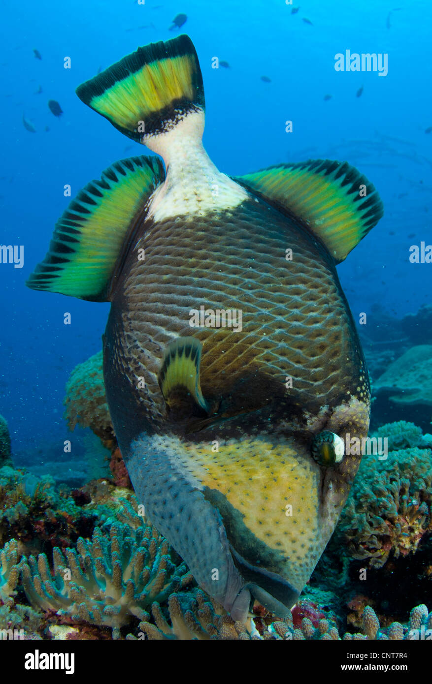 Titan triggerfish (Balistoides viridescens) close-up full body view as it picks at coral, Solomon Islands. - Stock Image