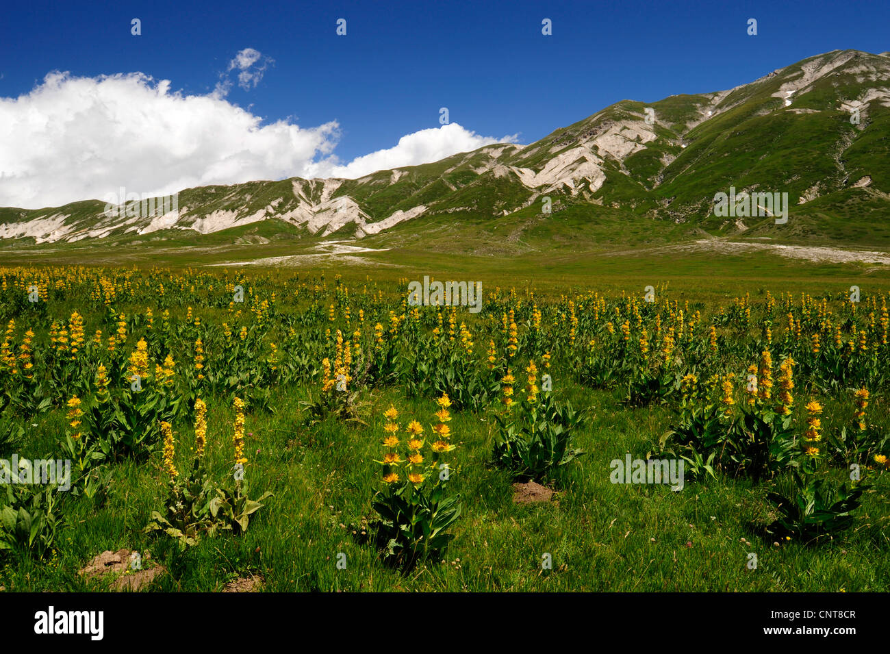 dry meadow plain with mulleins and a mountain range looming in the background, Italy, Nationalpark Abruzzen - Stock Image