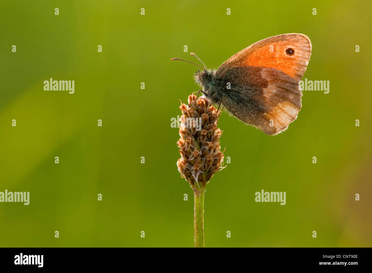 small heath (Coenonympha pamphilus), sitting on a plantain, Germany, North Rhine-Westphalia - Stock Image