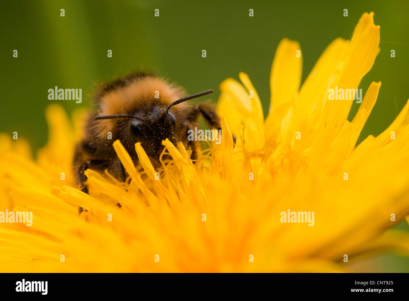 bumble bee on a dandelion flower, Germany, Rhineland-Palatinate - Stock Image