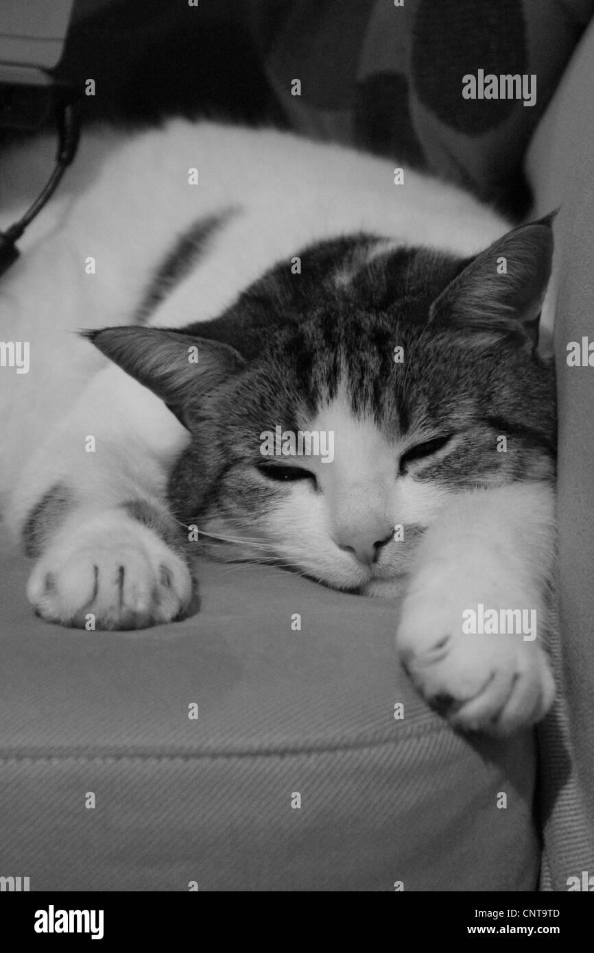 Cat, black and white, sleeping - Stock Image
