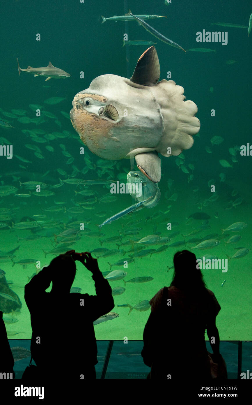 ocean sunfish (Mola mola), visitors taking photos of heaviest known bony fish in the world - Stock Image
