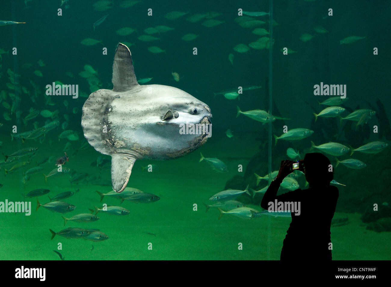 ocean sunfish (Mola mola), visitor taking photos of heaviest known bony fish in the world - Stock Image