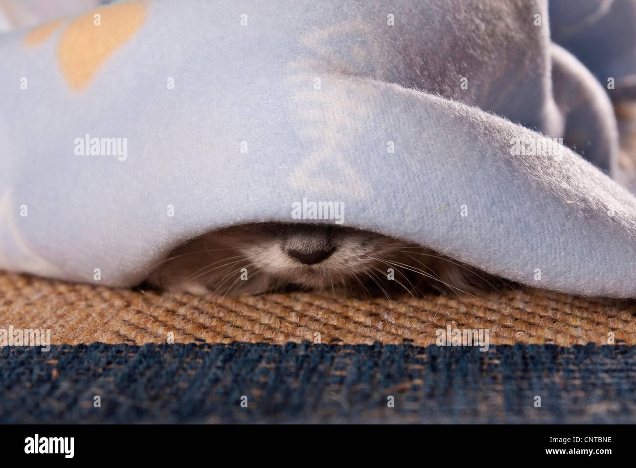 domestic cat, house cat (Felis silvestris f. catus), nose of a cat under a blanket Stock Photo