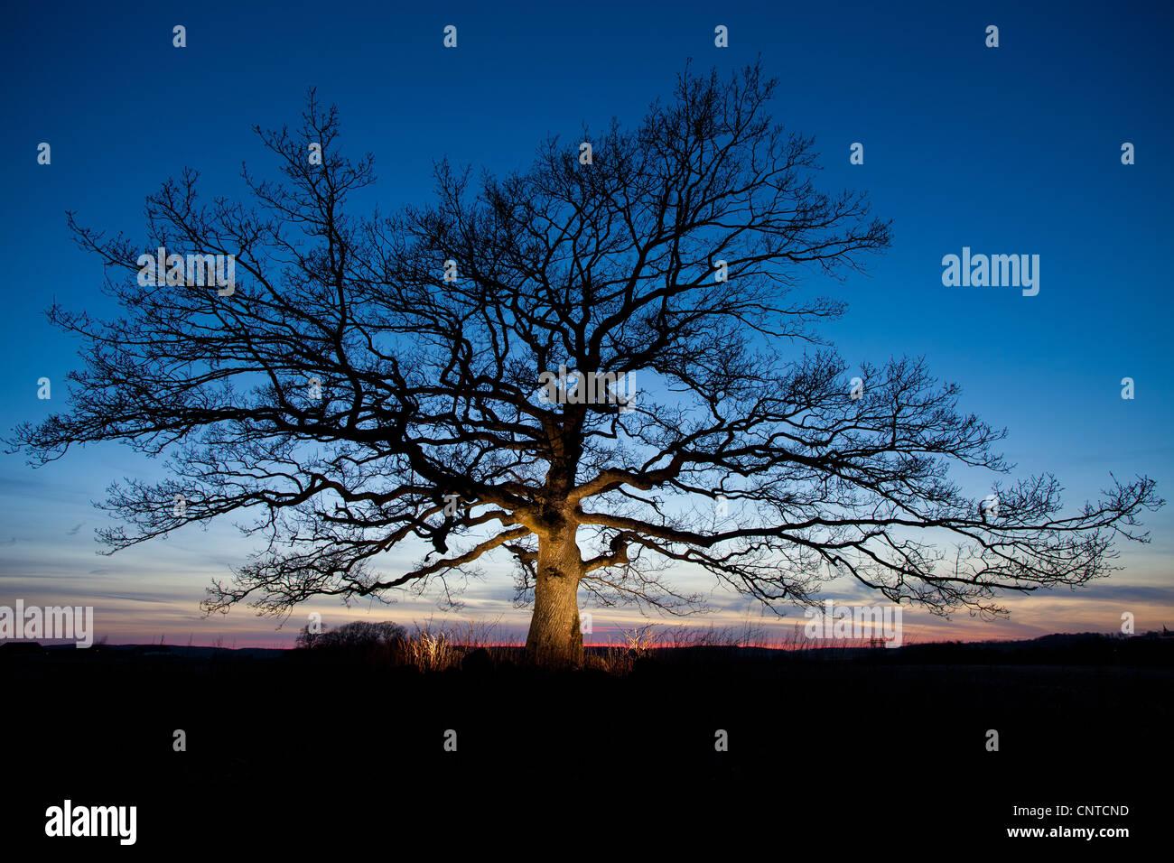 Beautiful oak tree at dusk in Råde, Østfold fylke, Norway. - Stock Image