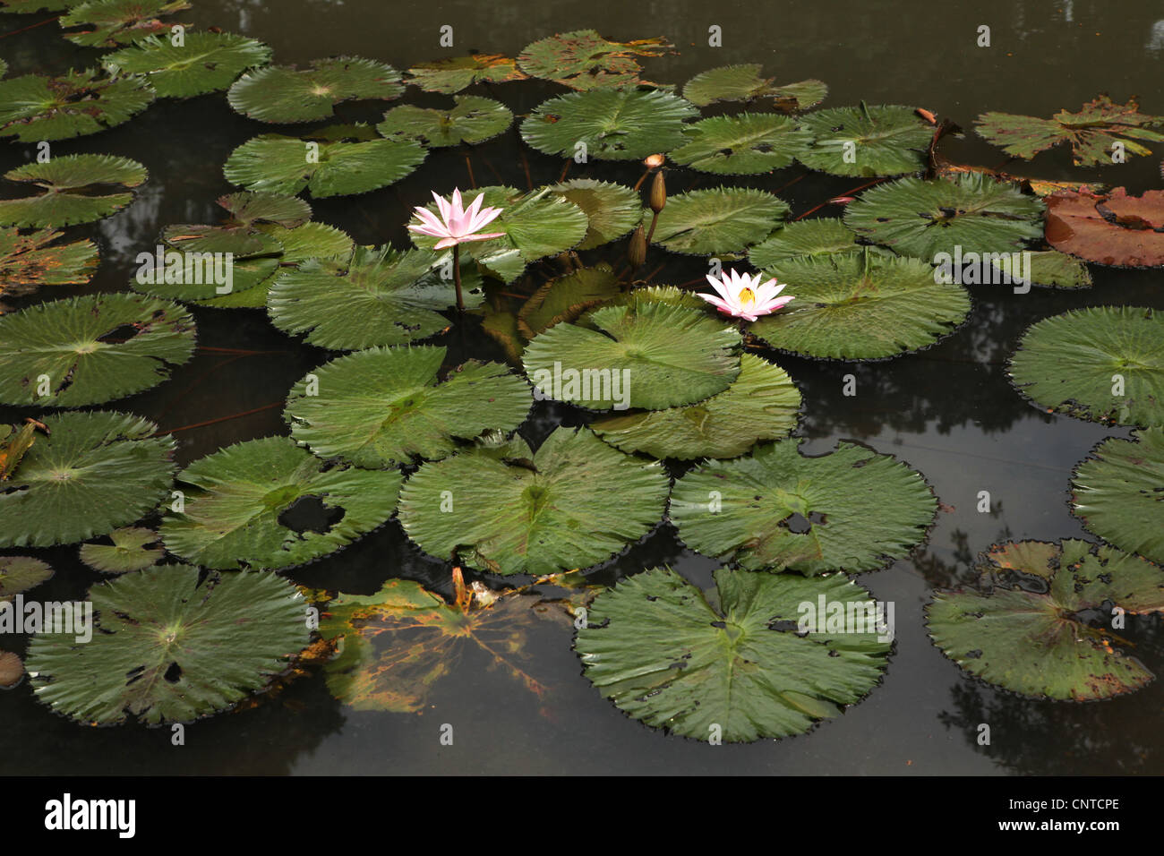 Lotus in the Bogor Botanical Gardens, West Java, Indonesia. - Stock Image