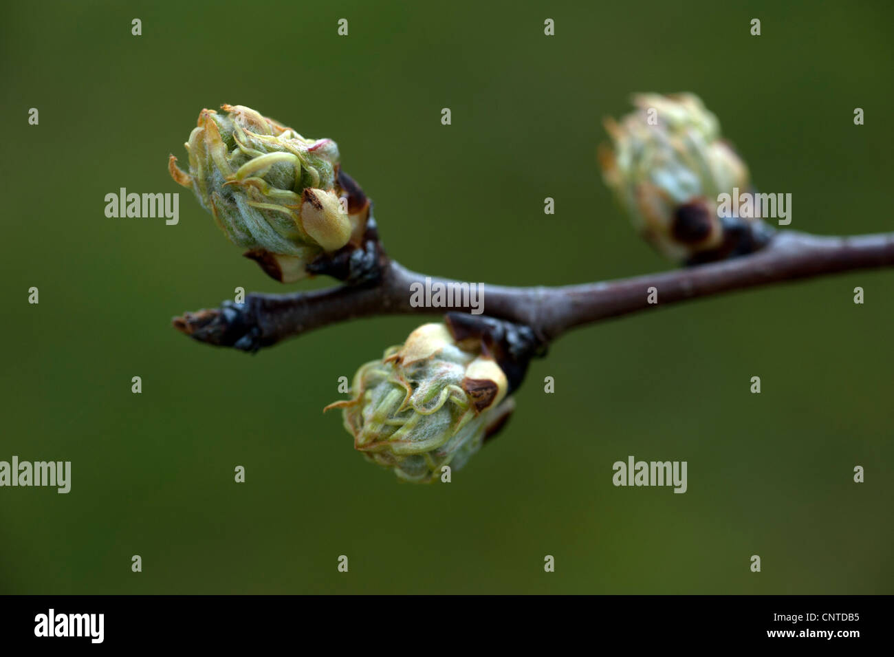 swelling buds on pear tree doyenne du commice in spring (pyrus communis) - Stock Image